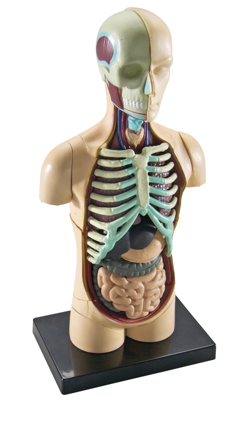 Learning: Science Biology Human Organ Models Human Torso Models - 1321190 - Learning Resources Human Body Anatomy Model 1321190