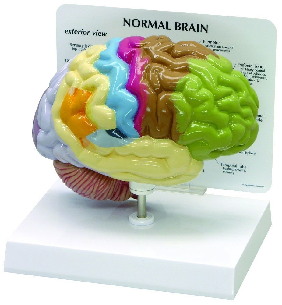 Half Brain Sensory And Motor Areas Anatomy Model - A-100804 - Anatomical Models Brain Models A-100804
