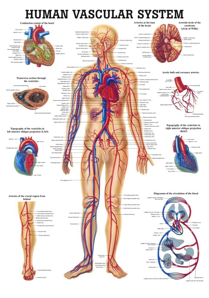 The Human Vascular System Laminated Anatomy Chart - A-104239 - Anatomical Charts & Posters Organs & Systems Of The Body A-104239
