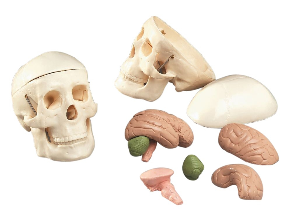 Mr. Thrifty Skull With 8 Parts Brain Anatomy Model - A-102889 - Anatomical Models Human Skull Models A-102889