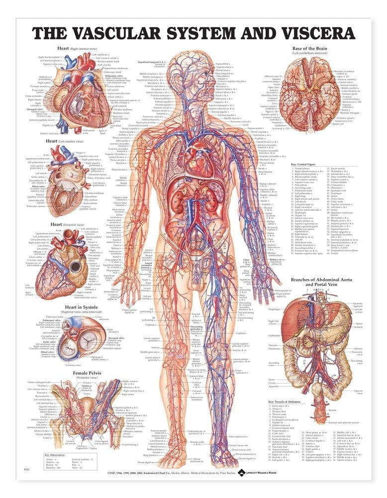 Learning: Science Biology Anatomical Charts & Posters Speech Organs & Kidney Charts - A-102623 - Vascular System And Viscera Anatomical Chart A-102623